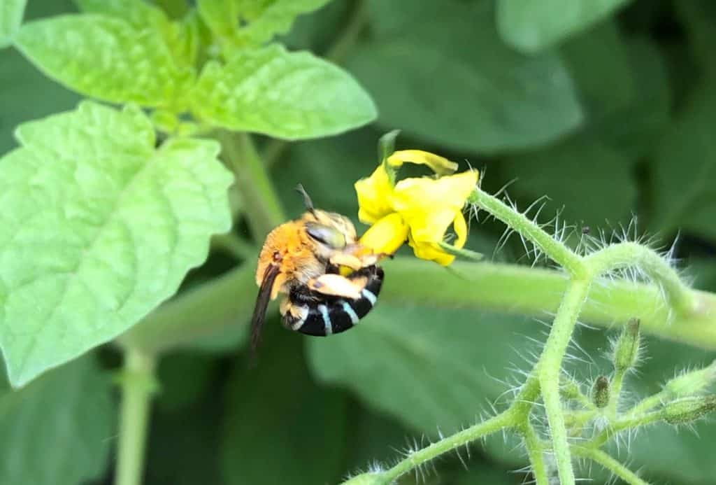 A blue banded native bee landed on a tomato flower
