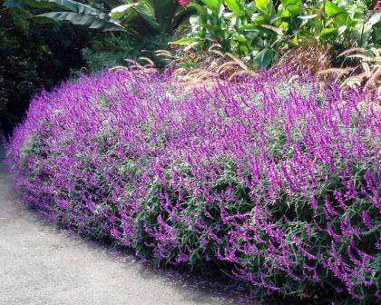 image of Salvia leucantha used in a brisbane landscape design