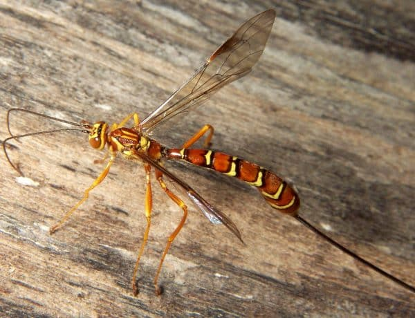 image of Ichneumon Wasps that layes eggs in lawn grub