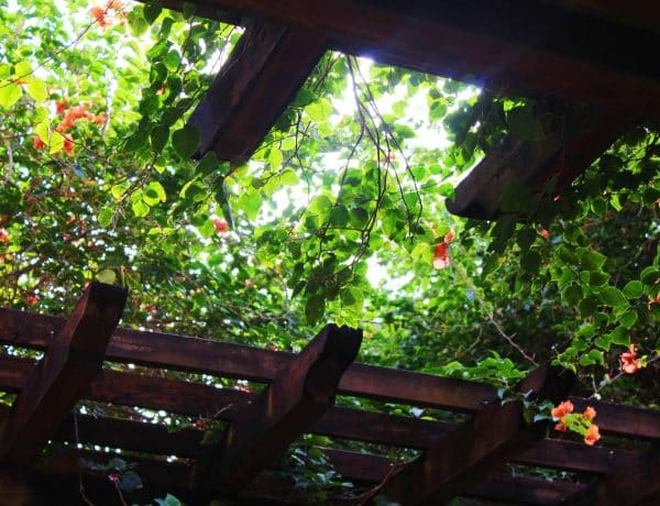 Image of vines growing over timber pergola of a healing garden