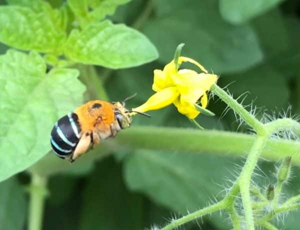 A blue banded native bee hovering infront of a tomato flower