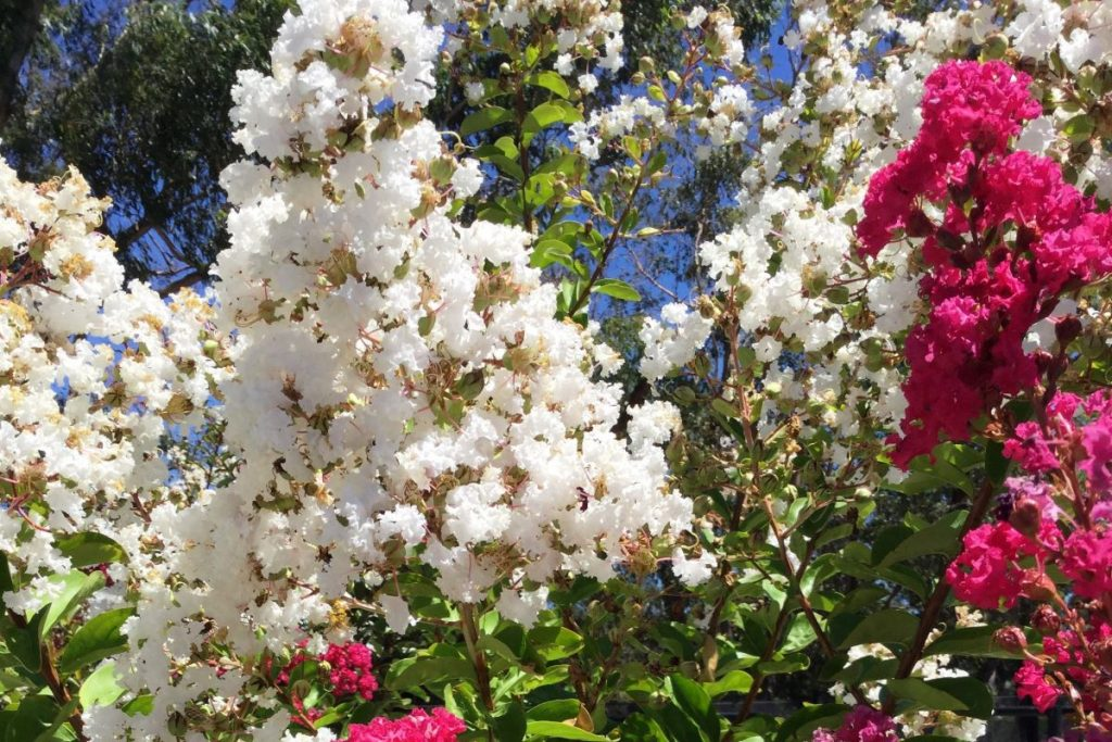 image of LAGERSTROEMIA INDICA X FAURIEI ACOMA or white crape myrtle growing in brisbane