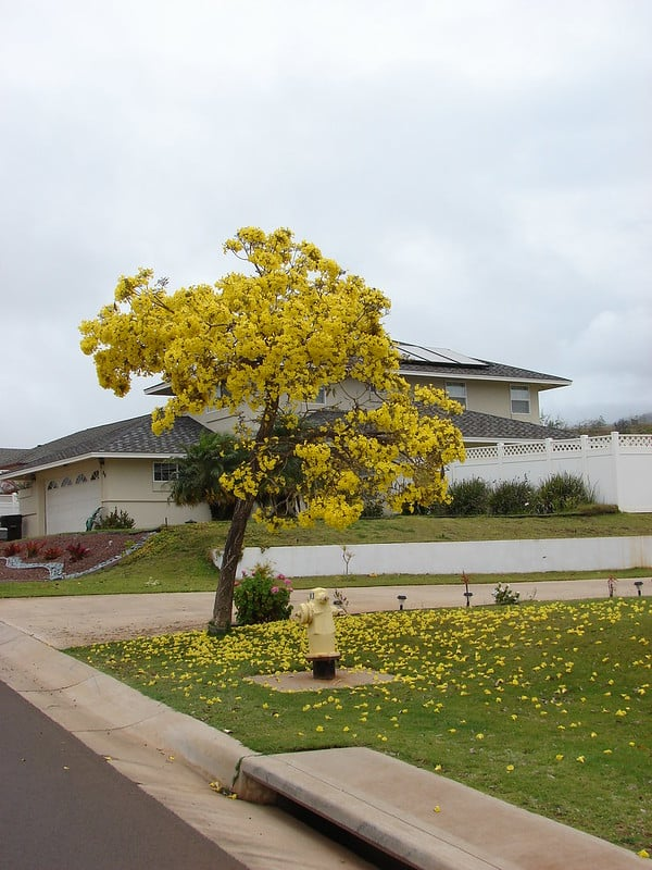 Image of Tabebuia argentea or yellow Tabebuia also called Handroanthus argentea, growing in brisbane