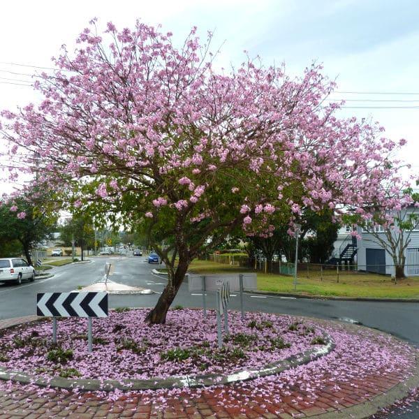 Image of Tabebuia impetiginosa aslo called Handroanthus impetiginosa or pink trumpet tree growing in brisbane