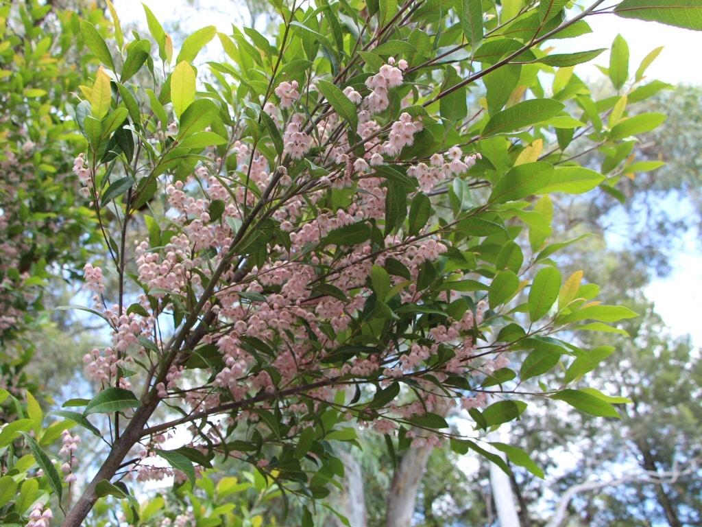 image of Elaeocarpus reticulatus 'prima donna' or Blue berry ash growing in brisbane