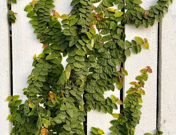 Ficus pumila or creeping fig growing on fence in Richlands Brisbane