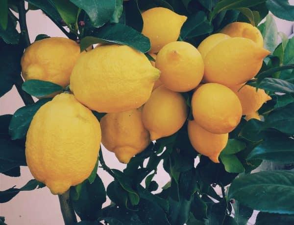 lemon tree full of fruit